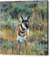 Pronghorn Antelope Amid Fall Foliage Wyoming Canvas Print