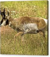 Pronghorn Antelope Canvas Print