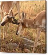 Pronghorn Antelope Bucks Locking Horns Canvas Print
