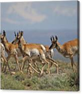 Pronghorn Antelope Running Canvas Print