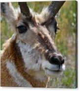 Pronghorn Buck Face Study Canvas Print