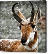 Pronghorn Buck In Snow - Yellowstone National Park Canvas Print