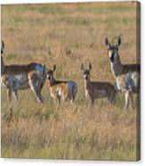 Pronghorn Fawns And Their Mothers Canvas Print