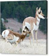 Pronghorn Feeding Canvas Print