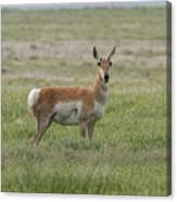 Pronghorn On The Plains Canvas Print