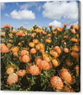 Protea Blossoms Canvas Print