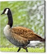 Proud Goose Canvas Print