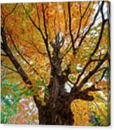 Proud Maine Tree In The Fall Canvas Print