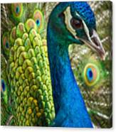 Preened And Proud Canvas Print
