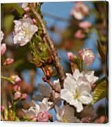 Prunus Amanogawa Canvas Print
