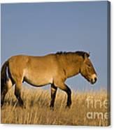 Przewalskis Stallion Canvas Print