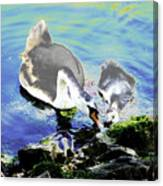 Psychedelic Mute Swan And Cygnet Feeding Canvas Print