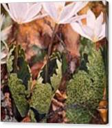 Puccoon Canvas Print
