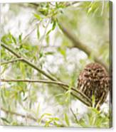 Puffed Up Little Owl In A Willow Tree Canvas Print