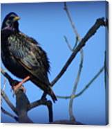 Puffed Up Starling Canvas Print