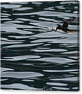 Puffin With Dinner Canvas Print