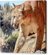 Puma Mountain Lion Nature Wear Canvas Print