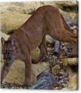Puma Stalking Canvas Print