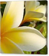 Pure Beauty Plumeria Flowers Canvas Print