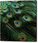 Pure Peacock Canvas Print