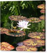 Pure Water Lily Canvas Print