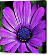 Purple African Daisy Canvas Print