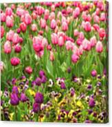 Purple And Pink Tulips In Canberra In Spring Canvas Print