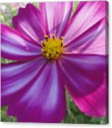 Purple And White Cosmos Canvas Print