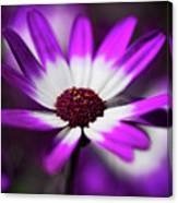 Purple And White Daisy  Canvas Print