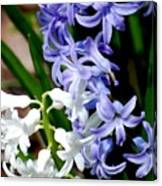 Purple And White Hyacinth Canvas Print