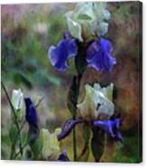 Purple And White Irises 6647 Dp_2 Canvas Print