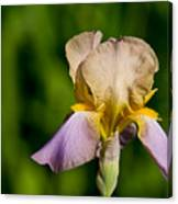 Purple And Yellow Iris Canvas Print