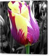 Purple And Yellow Tulip Canvas Print