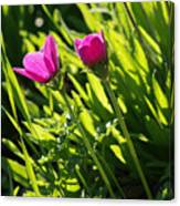 Purple Anemone Canvas Print
