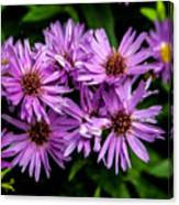 Purple Aster Blooms Canvas Print