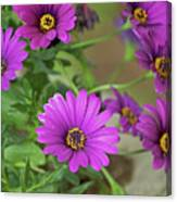 Purple Aster Flowers Canvas Print
