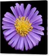 Purple Aster Canvas Print
