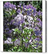 Purple Azaelas Canvas Print