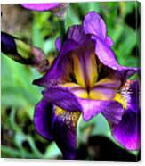 Purple Bearded Iris Ft3025 Canvas Print