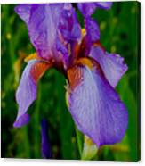 Purple Bearded Iris Portrait Canvas Print