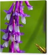 Purple Bird Vetch Plant  Canvas Print