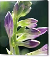 Purple Buds Canvas Print