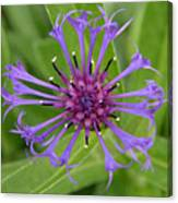 Purple Centaurea Montana Flower Canvas Print