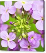 Purple Circle Of Dames Rocket Phlox In Spring Garden Canvas Print