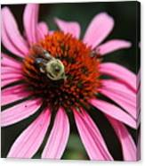 Purple Cone Flower 3 Canvas Print