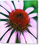 Purple Coneflower Close-up Canvas Print