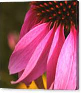 Purple Coneflower Close-up Canvas Print