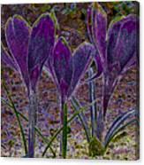 Purple Crocuses  Canvas Print