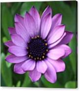 Purple Daisy Square Canvas Print