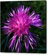 Purple Dandelions 4 Canvas Print